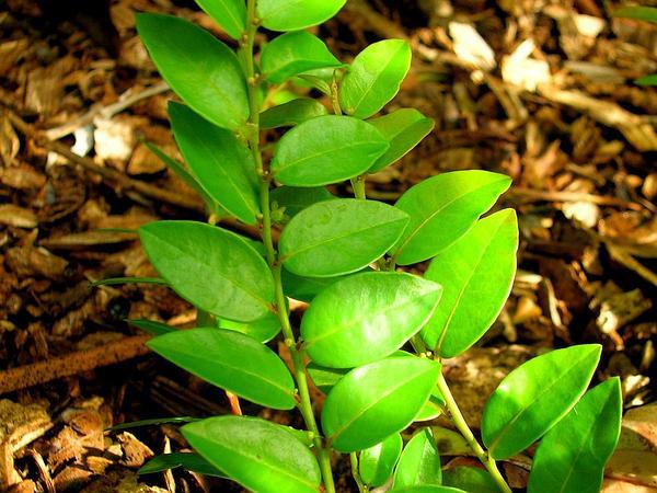 Pamakani Mahu (Phyllanthus Distichus) http://www.sagebud.com/pamakani-mahu-phyllanthus-distichus