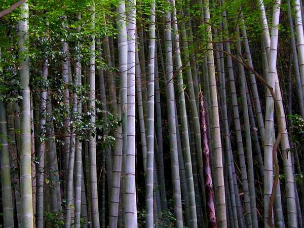 Tortoise Shell Bamboo (Phyllostachys Edulis) http://www.sagebud.com/tortoise-shell-bamboo-phyllostachys-edulis