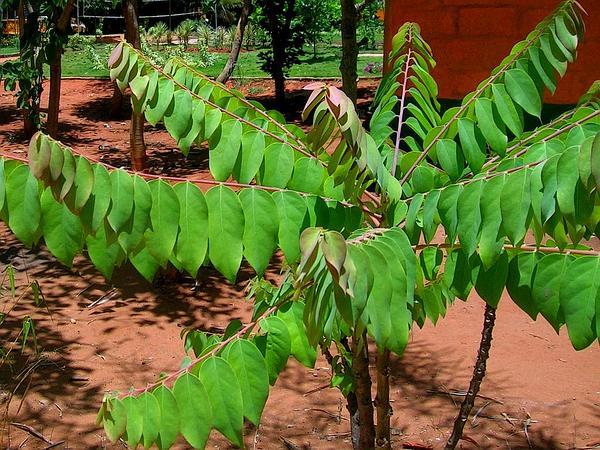 Emblic (Phyllanthus Emblica) http://www.sagebud.com/emblic-phyllanthus-emblica
