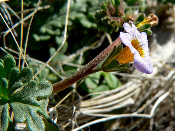 Fremont's Phacelia (Phacelia Fremontii) http://www.sagebud.com/fremonts-phacelia-phacelia-fremontii