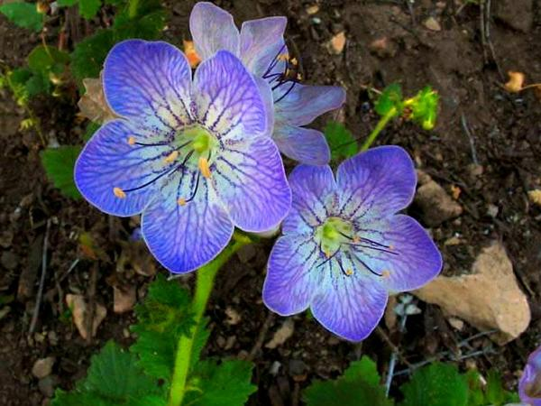 Largeflower Phacelia (Phacelia Grandiflora) http://www.sagebud.com/largeflower-phacelia-phacelia-grandiflora
