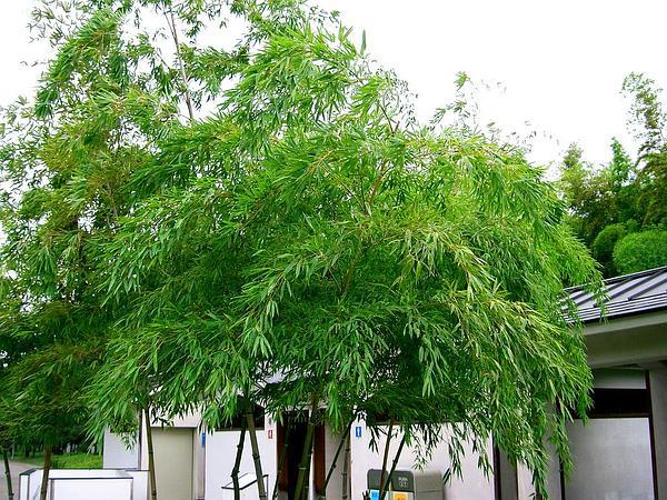 Tortoiseshell Bamboo (Phyllostachys Heterocycla) http://www.sagebud.com/tortoiseshell-bamboo-phyllostachys-heterocycla