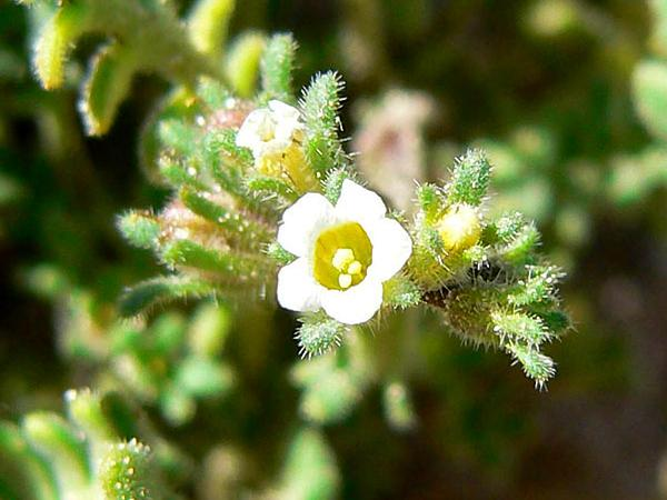 Ives' Phacelia (Phacelia Ivesiana) http://www.sagebud.com/ives-phacelia-phacelia-ivesiana