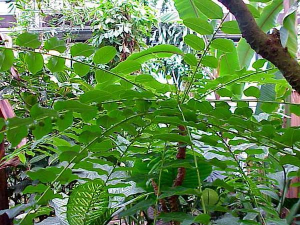 Gamo De Costa (Phyllanthus Juglandifolius) http://www.sagebud.com/gamo-de-costa-phyllanthus-juglandifolius