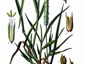 PHLEU/367_Phleum_pratense_L_300.jpg