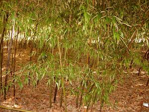PHNI80/Black_Bamboo_-_Phyllostachys_Nigra_Var_Punctacta_-_Poaceae_-_China_-_Small_Group_300.JPG