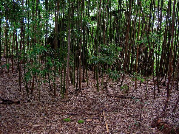 Black Bamboo (Phyllostachys Nigra) http://www.sagebud.com/black-bamboo-phyllostachys-nigra/