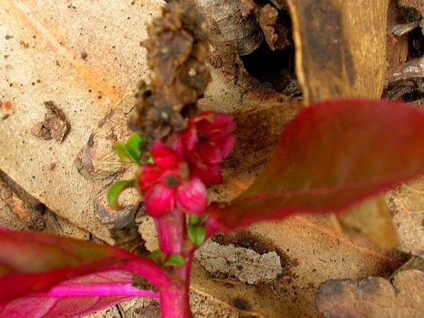 Red Inkplant (Phytolacca Octandra) http://www.sagebud.com/red-inkplant-phytolacca-octandra/