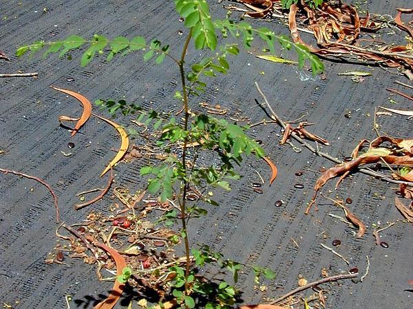Mascarene Island Leaf-Flower (Phyllanthus Tenellus) http://www.sagebud.com/mascarene-island-leaf-flower-phyllanthus-tenellus