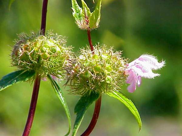 Tuberous Jerusalem Sage (Phlomis Tuberosa) http://www.sagebud.com/tuberous-jerusalem-sage-phlomis-tuberosa