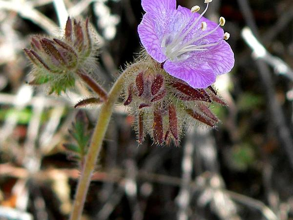 Death Valley Phacelia (Phacelia Vallis-Mortae) http://www.sagebud.com/death-valley-phacelia-phacelia-vallis-mortae/