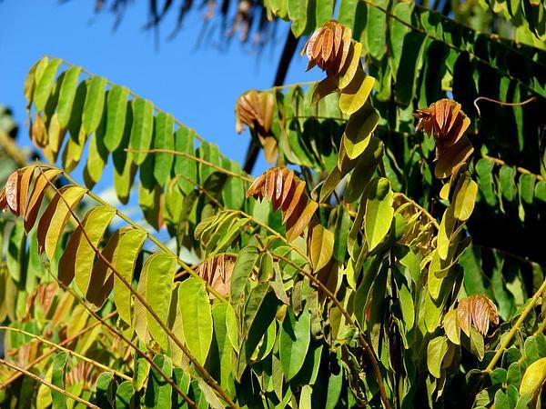 Leafflower (Phyllanthus) http://www.sagebud.com/leafflower-phyllanthus