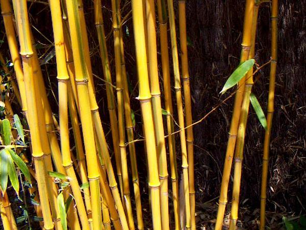 Bamboo (Phyllostachys) http://www.sagebud.com/bamboo-phyllostachys