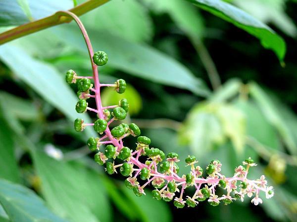 Pokeweed (Phytolacca) http://www.sagebud.com/pokeweed-phytolacca