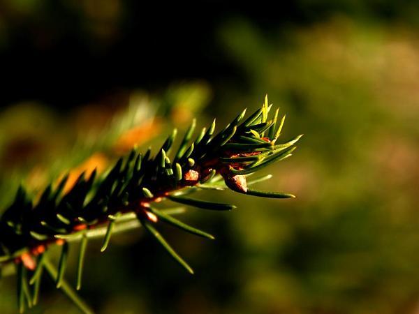 Norway Spruce (Picea Abies) http://www.sagebud.com/norway-spruce-picea-abies