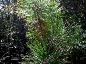 PIAR5/Pinus_arizonica_sapling_300.jpg