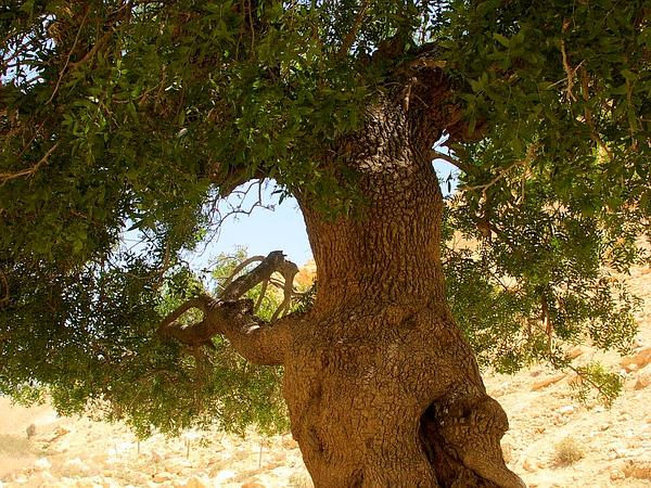 Mt. Atlas Mastic Tree (Pistacia Atlantica) http://www.sagebud.com/mt-atlas-mastic-tree-pistacia-atlantica/