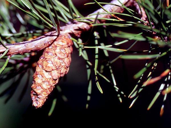 Jack Pine (Pinus Banksiana) http://www.sagebud.com/jack-pine-pinus-banksiana/