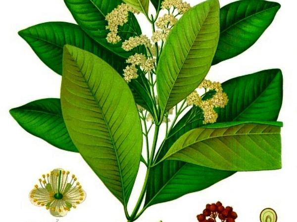 Allspice (Pimenta Dioica) http://www.sagebud.com/allspice-pimenta-dioica