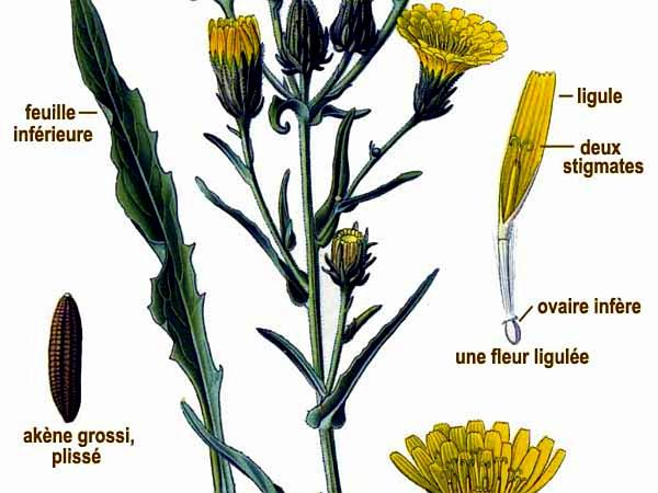 Hawkweed Oxtongue (Picris Hieracioides) http://www.sagebud.com/hawkweed-oxtongue-picris-hieracioides/