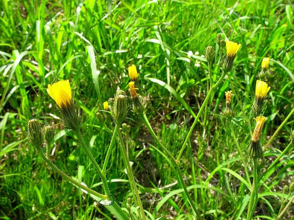 Hawkweed Oxtongue (Picris Hieracioides) http://www.sagebud.com/hawkweed-oxtongue-picris-hieracioides