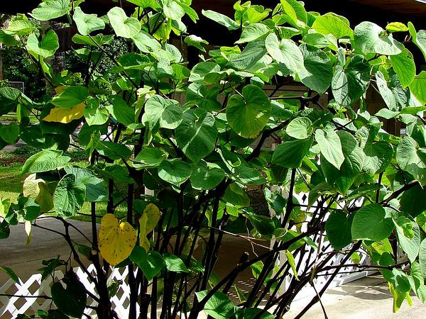 Kava (Piper Methysticum) http://www.sagebud.com/kava-piper-methysticum/