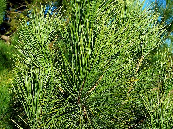 Bishop Pine (Pinus Muricata)