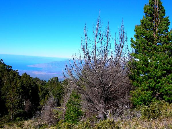 Mexican Weeping Pine (Pinus Patula) http://www.sagebud.com/mexican-weeping-pine-pinus-patula/