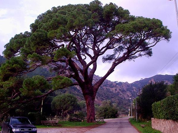 Italian Stone Pine (Pinus Pinea) http://www.sagebud.com/italian-stone-pine-pinus-pinea/