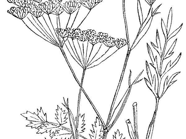 Solidstem Burnet Saxifrage (Pimpinella Saxifraga) http://www.sagebud.com/solidstem-burnet-saxifrage-pimpinella-saxifraga