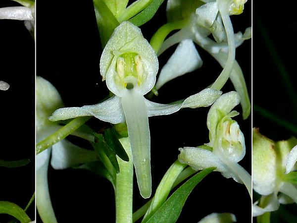 Fringed Orchid (Platanthera) http://www.sagebud.com/fringed-orchid-platanthera/
