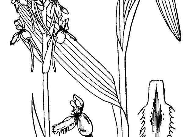 White Fringed Orchid (Platanthera Blephariglottis) http://www.sagebud.com/white-fringed-orchid-platanthera-blephariglottis/
