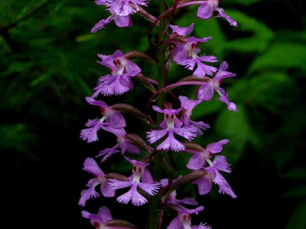 Greater Purple Fringed Orchid (Platanthera Grandiflora) http://www.sagebud.com/greater-purple-fringed-orchid-platanthera-grandiflora