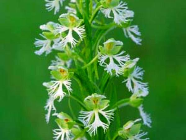 Prairie White Fringed Orchid (Platanthera Leucophaea) http://www.sagebud.com/prairie-white-fringed-orchid-platanthera-leucophaea