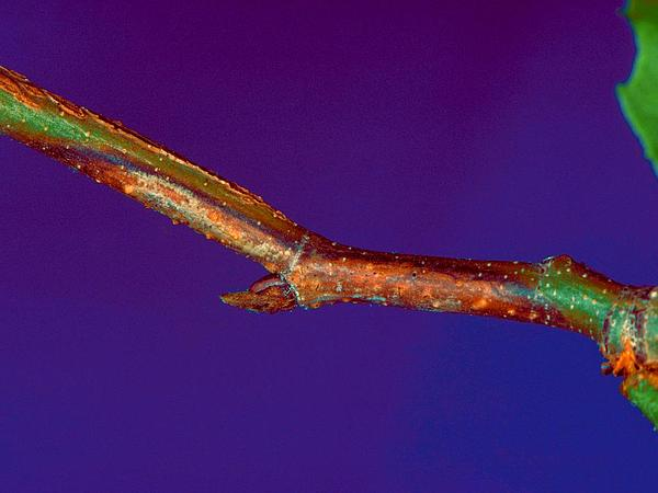 American Sycamore (Platanus Occidentalis) http://www.sagebud.com/american-sycamore-platanus-occidentalis