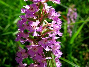 Lesser Purple Fringed Orchid