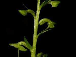 Slender Bog Orchid