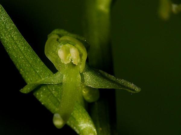 Slender Bog Orchid (Platanthera Stricta) http://www.sagebud.com/slender-bog-orchid-platanthera-stricta