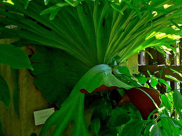 Staghorn Fern (Platycerium Superbum)