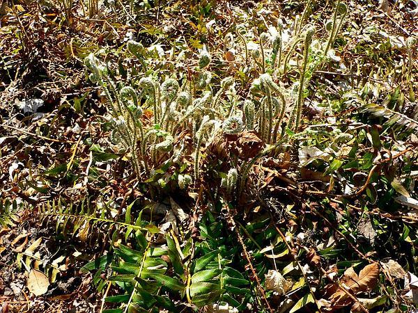 Christmas Fern (Polystichum Acrostichoides) http://www.sagebud.com/christmas-fern-polystichum-acrostichoides