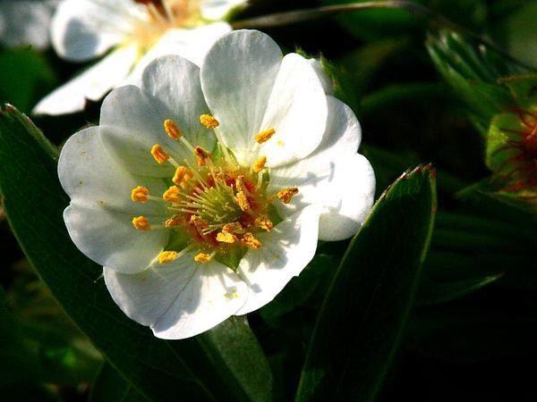 White Cinquefoil (Potentilla Alba) http://www.sagebud.com/white-cinquefoil-potentilla-alba/