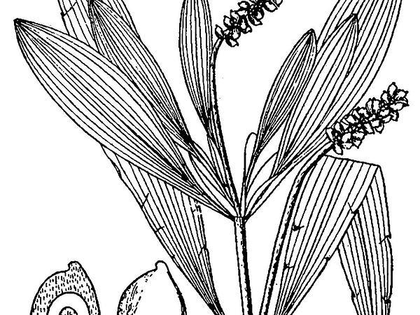 Alpine Pondweed (Potamogeton Alpinus) http://www.sagebud.com/alpine-pondweed-potamogeton-alpinus