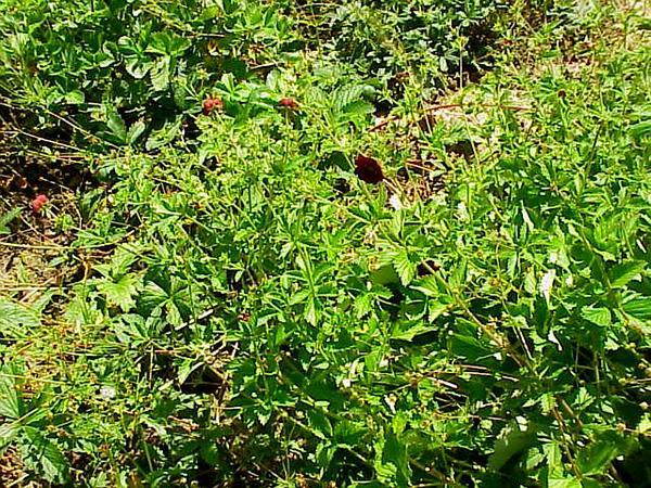 Ruby Cinquefoil (Potentilla Atrosanguinea) http://www.sagebud.com/ruby-cinquefoil-potentilla-atrosanguinea