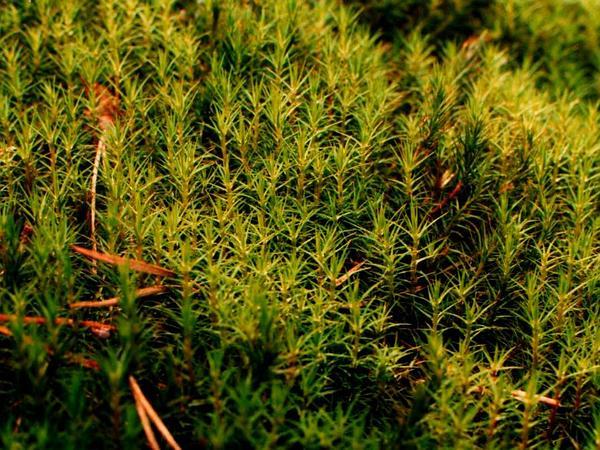 Polytrichum Moss (Polytrichum Commune) http://www.sagebud.com/polytrichum-moss-polytrichum-commune