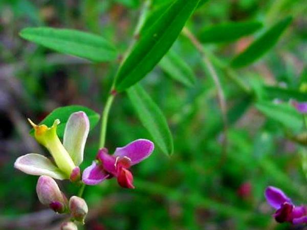 Sierra Milkwort (Polygala Cornuta) http://www.sagebud.com/sierra-milkwort-polygala-cornuta