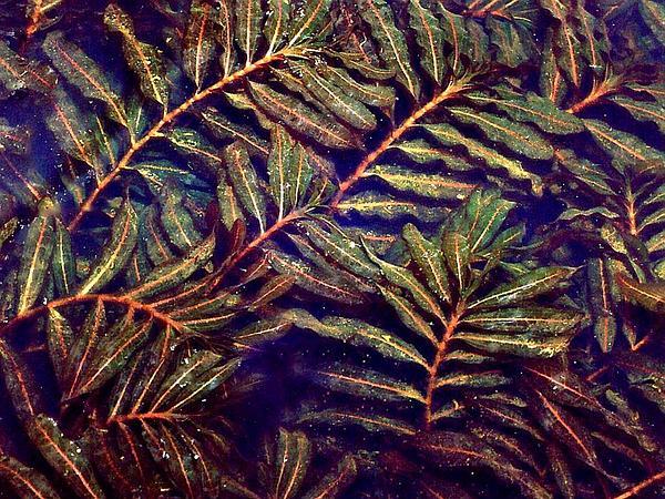 Curly Pondweed (Potamogeton Crispus) http://www.sagebud.com/curly-pondweed-potamogeton-crispus