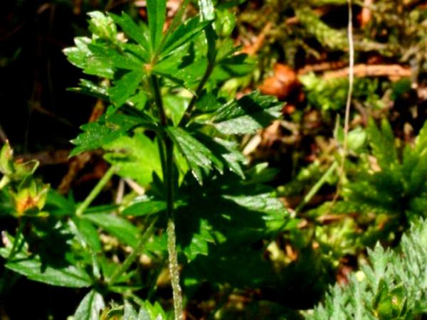 Erect Cinquefoil (Potentilla Erecta) http://www.sagebud.com/erect-cinquefoil-potentilla-erecta
