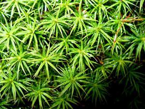 Polytrichum Moss
