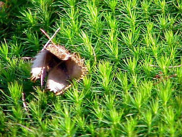Polytrichum Moss (Polytrichum Formosum) http://www.sagebud.com/polytrichum-moss-polytrichum-formosum