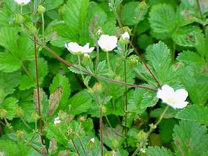 Strawberry Cinquefoil